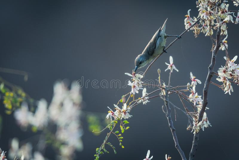 Female sunbird nectaring. Female sunbird collecting nectar from a wild flower at spring stock photos