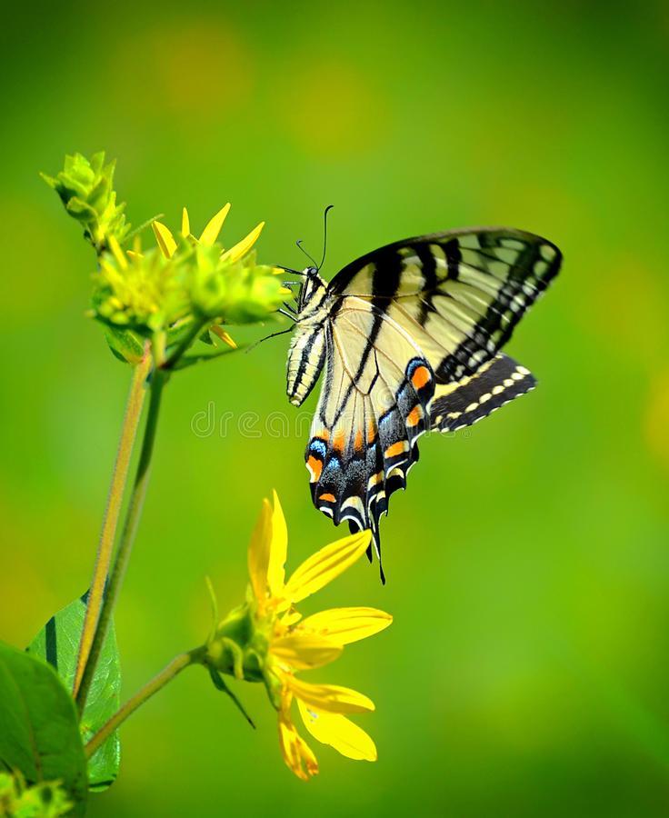 Female Swallowtail royalty free stock photos