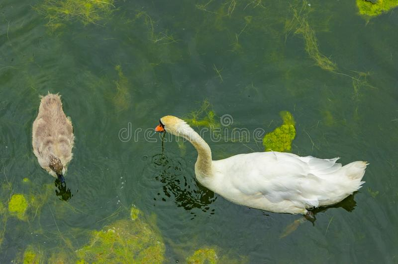 Female swan and its young, a walk in family royalty free stock photography