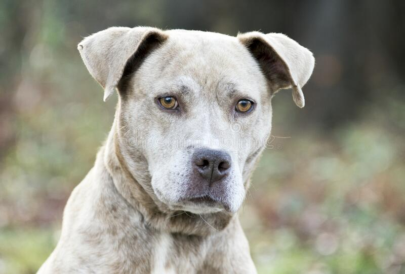 Female tan brindle American Pit Bull Terrier portrait. With sad eyes. Dog rescue pet adoption photography stock photography