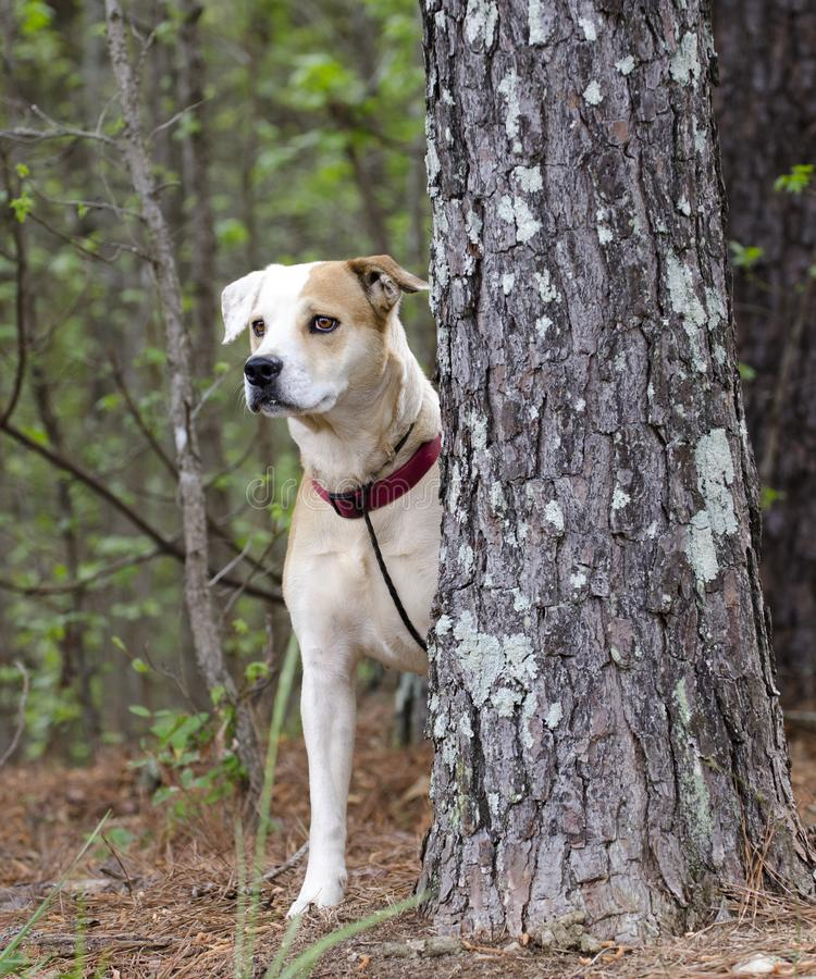 Dog behind pine tree, Lab Bulldog mixed breed dog with red collar, pet adoption photography. Female tan and white Labrador mixed breed puppy dog with red collar stock photos