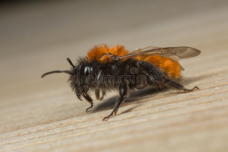Female Tawnt Mining-bee. A female Tawny Mining-bee Andrena fulva resting on a wooden surface stock photos