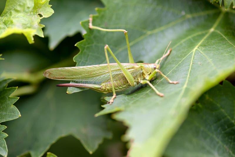 Female Tettigonia viridissima, the great green bush-cricket,. Is a large species of katydid or bush-cricket royalty free stock photography