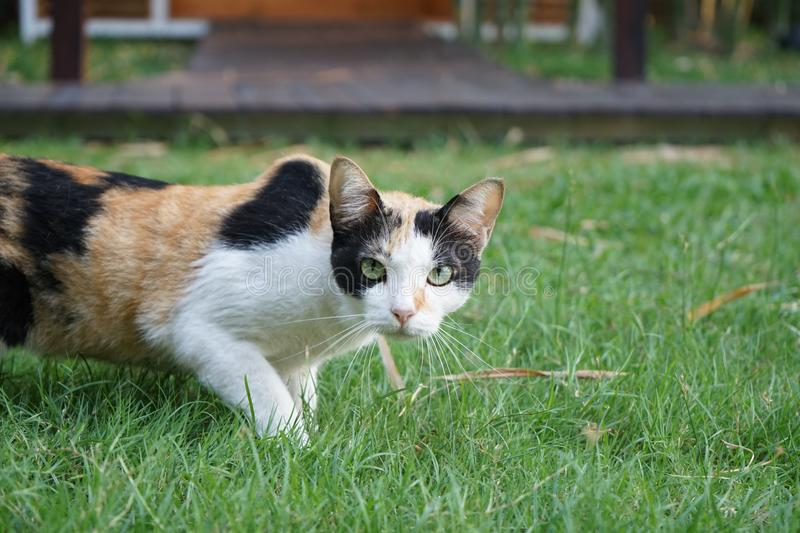 Female three colour orange, white, black on its wool is stare and stand on the grass feild stock photography