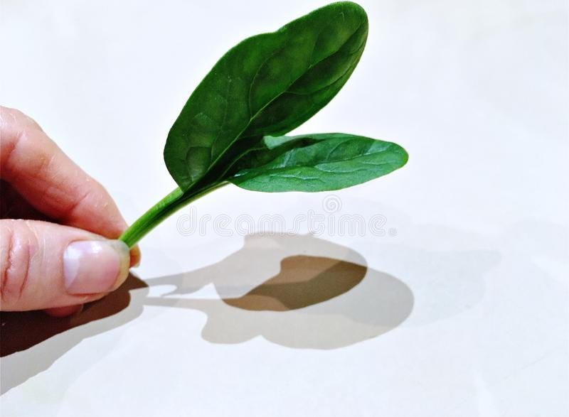Female thumb and finger holding baby spinach leaf. A Caucasian female thumb and finger holding onto a baby spinach leaf steam.  Low angle close up view.  White royalty free stock images