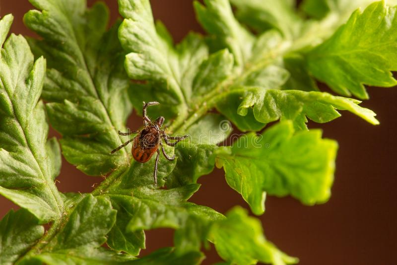 Female of the tick sitting on a leaf, brown background. A common European parasite attacking also humans. Female of the tick sitting on a leaf. A common stock photos