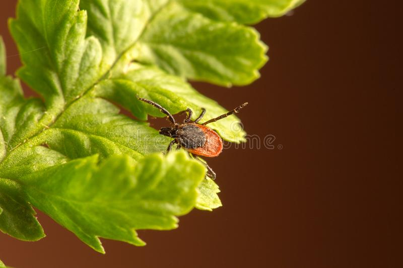 Female of the tick sitting on a leaf, brown background. A common European parasite attacking also humans. Female of the tick sitting on a leaf. A common stock photography
