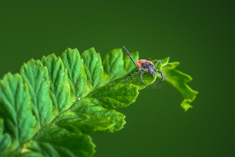 Female of the tick sitting on a leaf, green background. A common European parasite attacking also humans. Female of the tick sitting on a leaf. A common royalty free stock photo