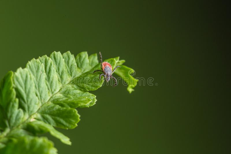 Female of the tick sitting on a leaf, green background. A common European parasite attacking also humans. Female of the tick sitting on a leaf. A common royalty free stock image