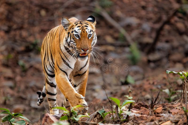 Female tiger in Bandhavgarh National Park in India. Female tiger walking in the forest in the early morning in Bandhavgarh National Park in India royalty free stock photography