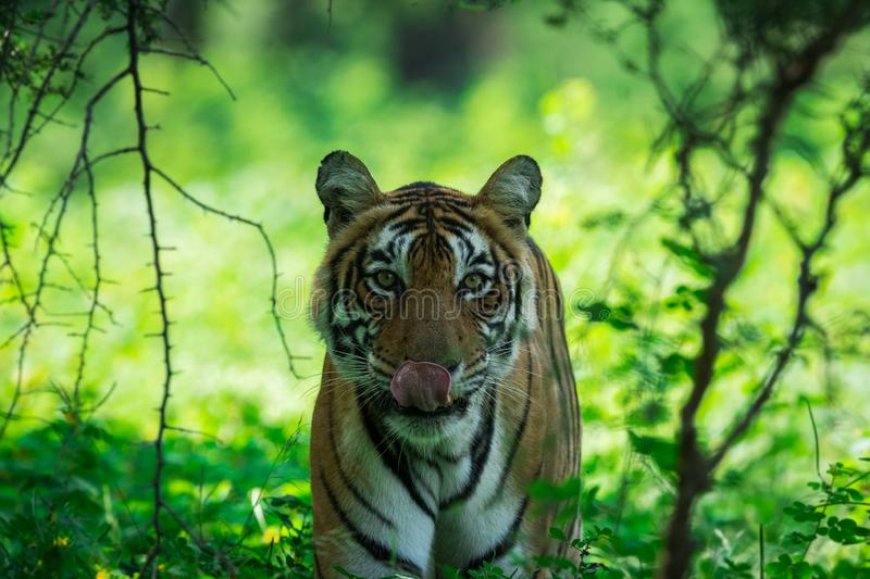 A female tiger portrait in a morning light and shadow in a nature green amidst in a jungle of ranthambore national park, india. A female tiger portrait in a royalty free stock photos