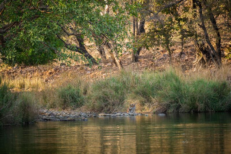 A female tiger resting in evening with beautiful surrounding just before going to start territory marking at Ranthambore stock photo
