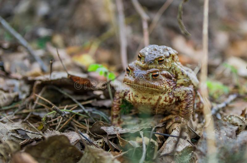 A female toad carries a male during the breeding season stock images