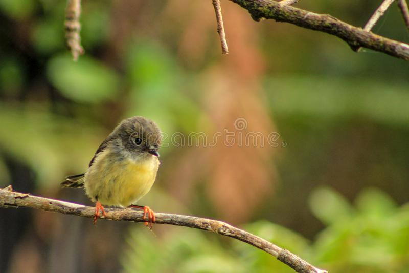 Female tomtit, South Island subspecies, native New Zealand bird sitting in tree on Bluff Hill stock image