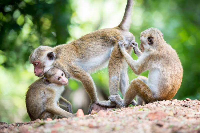 Female toque macaque monkey with babies in natural habitat royalty free stock photos
