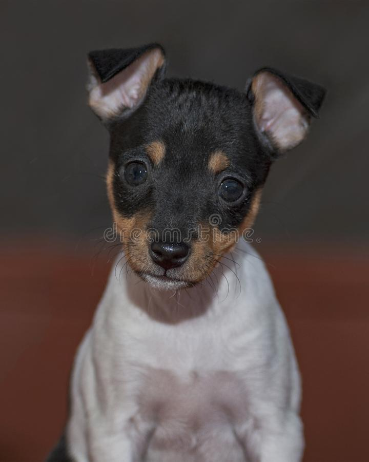 Female Toy Fox Terrier Puppy Portrait royalty free stock photo