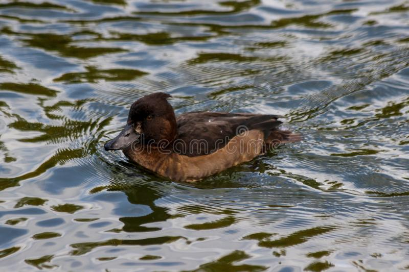 A female tufted duck Aythya fuligula on the water`s surface stock image
