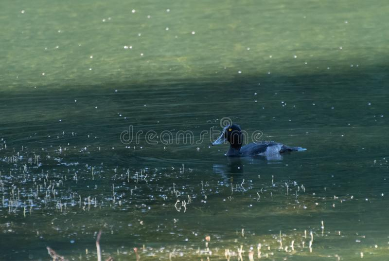 Female Tufted Duck stock image