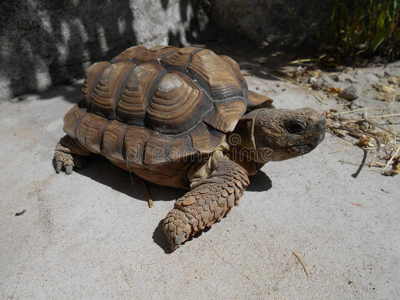 Female turtle brown royalty free stock photo