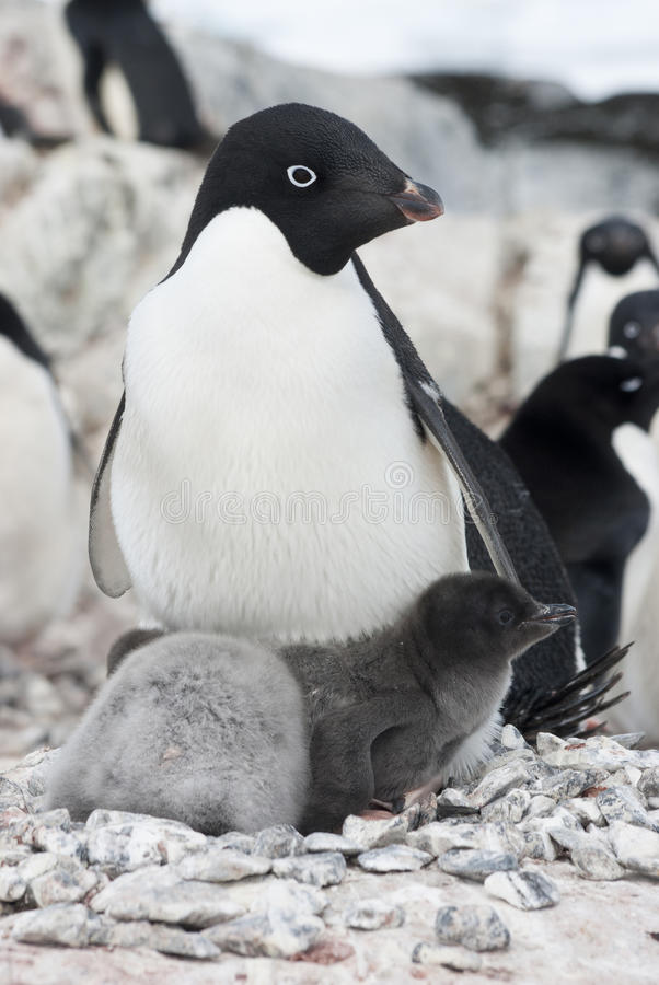 Download Female And Two Adelie Penguin Chick. Stock Photo - Image: 28276344