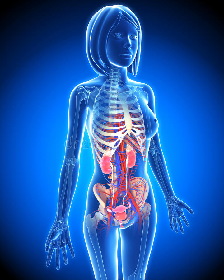 Female Urinary system in blue x-ray loop stock illustration