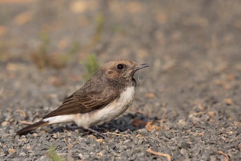 Female Variable Wheatear perched royalty free stock photos