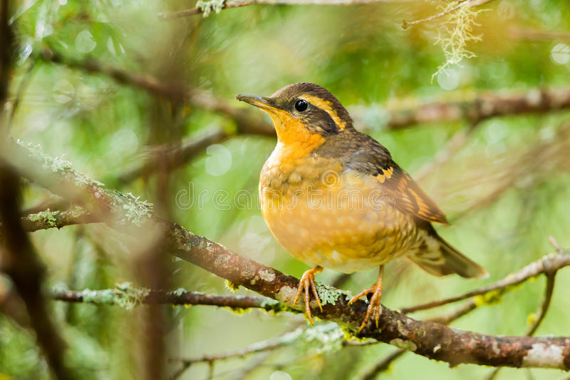 Female Varied Thrush. Adult Female Varied Thrush Perched On Mossy Branch royalty free stock photos