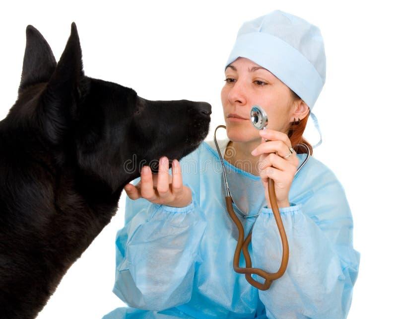 Female vet dog treats stock photo