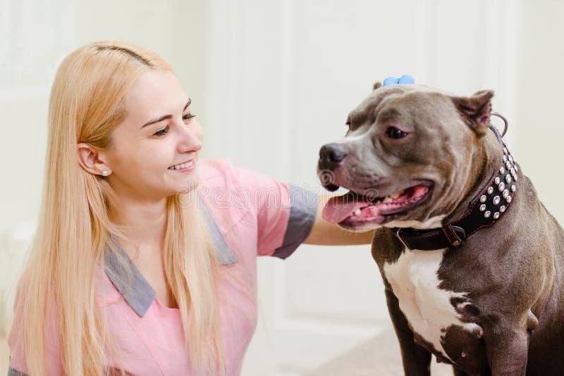 Examination of american bully in clinic. Female vet examining pit bull on medical examination table royalty free stock photos