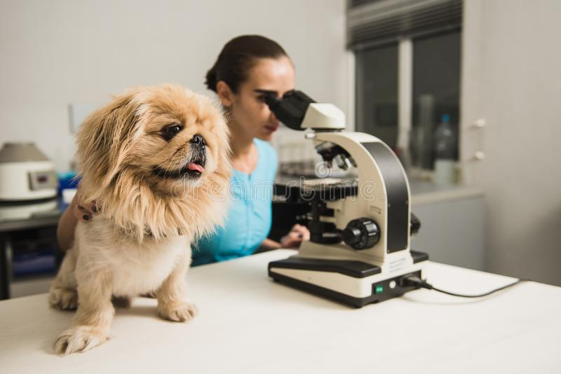 Female vet with microscope. Female vet with dog and microscope. Female researcher with a microscope. Laboratory in the Veterinary Clinic. Focus on the dog stock image