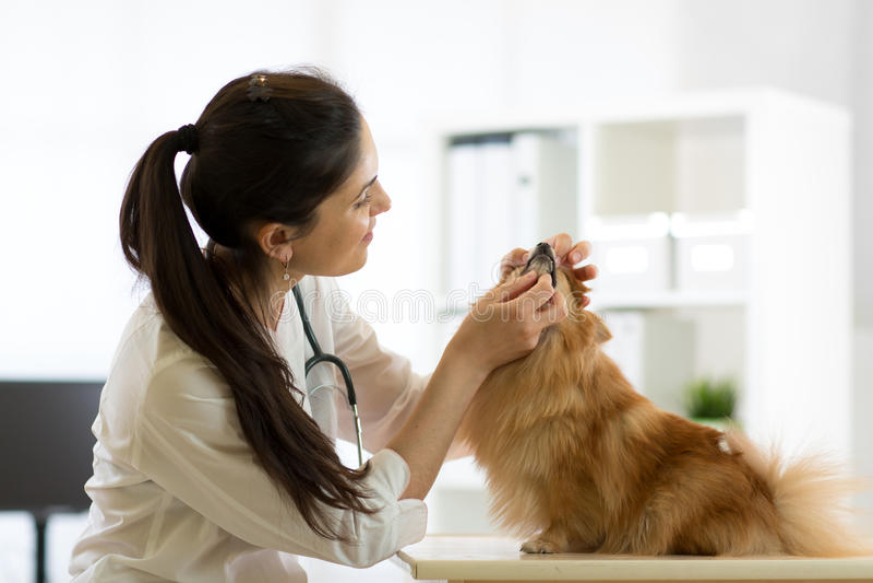 Female veterinarian examining teeth of dog in clinic royalty free stock image