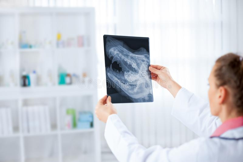 Female veterinary examining an animal radiography stock images