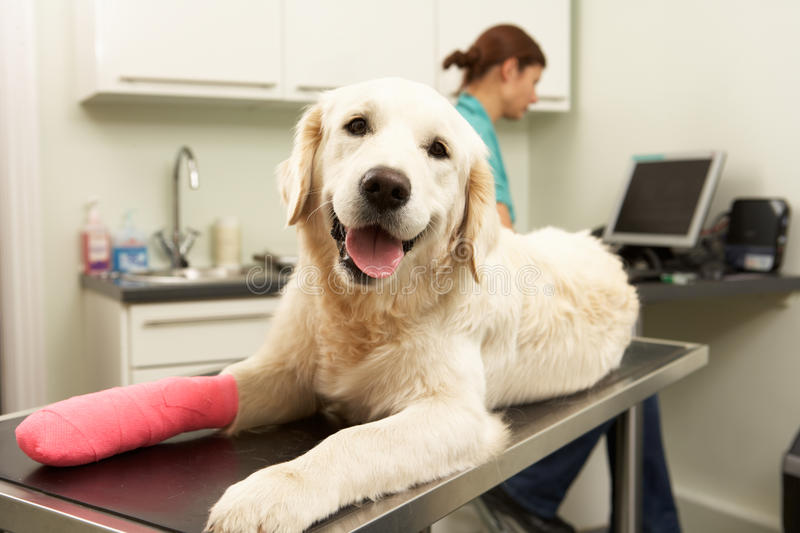 Female Veterinary Surgeon Treating Dog stock images