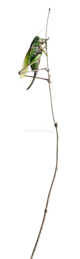 Download Female wart-biter stock image. Image of animal, panorama - 21402387