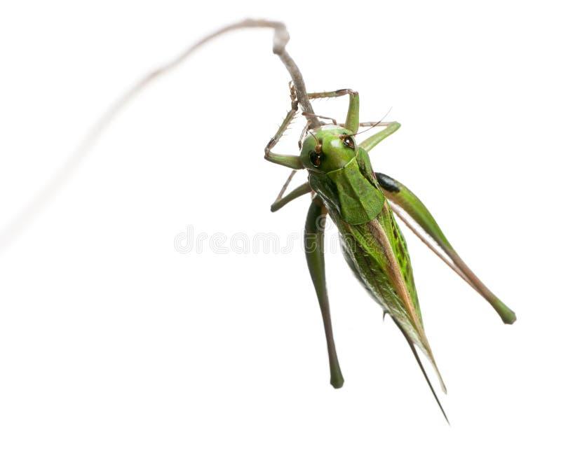 Download Female Wart-biter, A Bush-cricket Stock Image - Image: 21402423