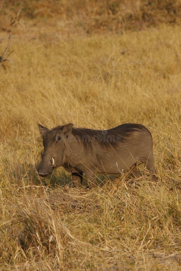 Female wart hog. Wart hog in the african savanna royalty free stock images