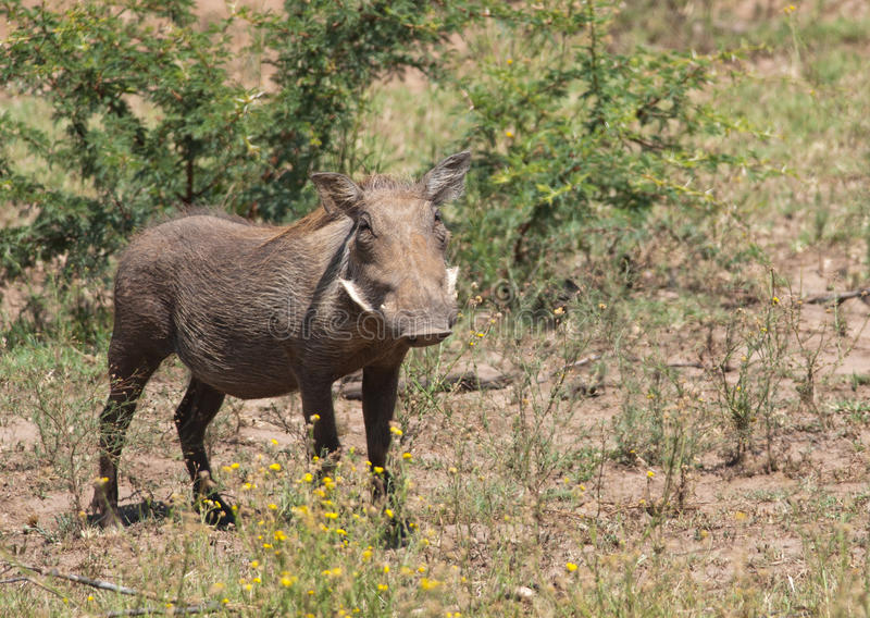 Download Female Warthog From Front Royalty Free Stock Images - Image: 24108939