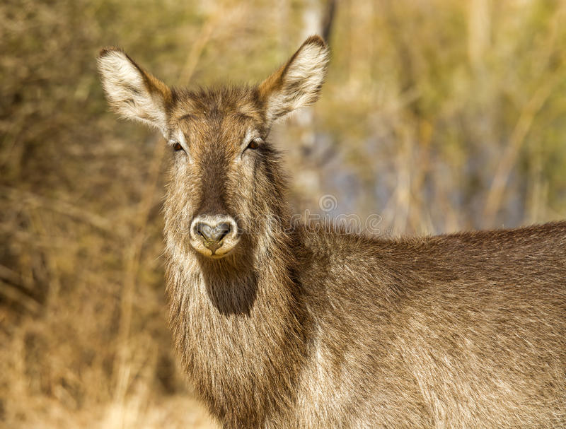 Download Female waterbuck stock photo. Image of tree, grass, bush - 26162286