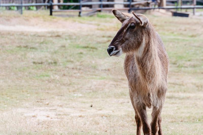 Female Waterbuck Antelope standing alone in the green field stock photography