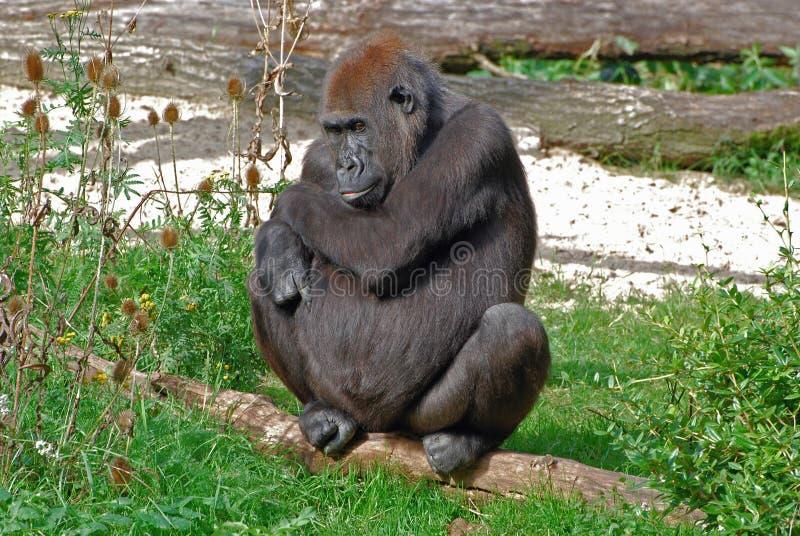 Female Western lowland gorilla. Sitting in grass in Zoo Apenheul Netherlands - Gorilla gorilla gorilla stock photography
