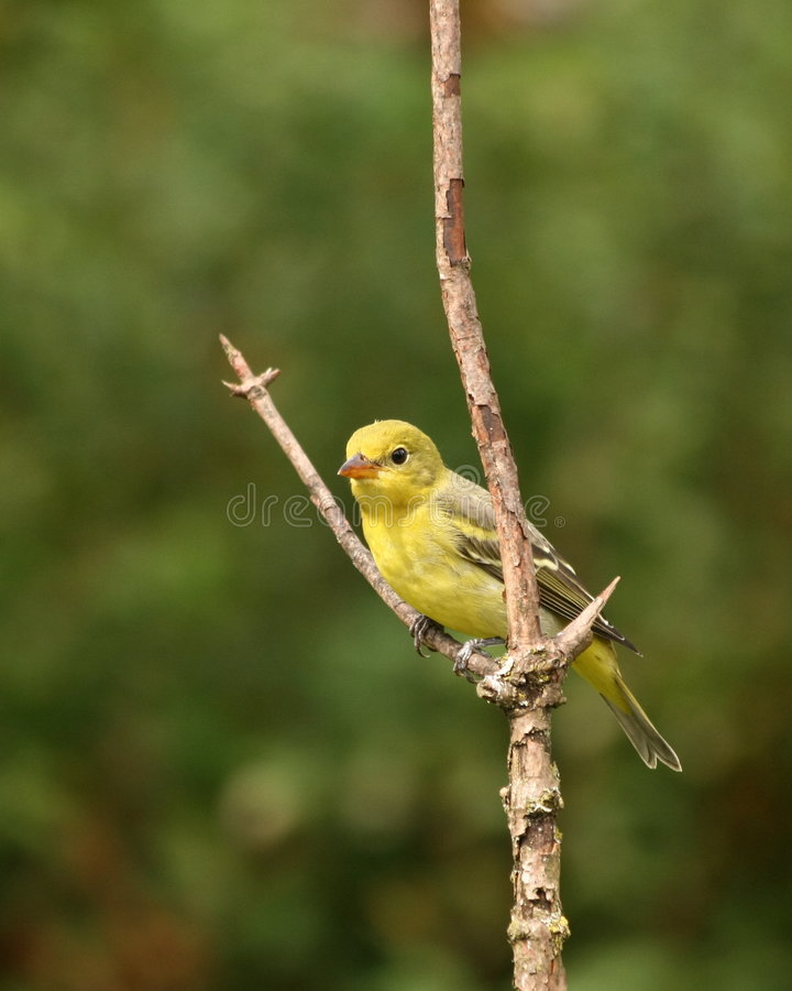 Female western tanager stock images