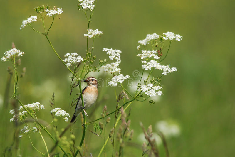 Female whinchat. With a horsefly royalty free stock image