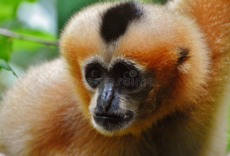 Female White-cheeked Gibbon. The northern white-cheeked gibbon Nomascus leucogenys is a species of gibbon native to South East Asia stock photos