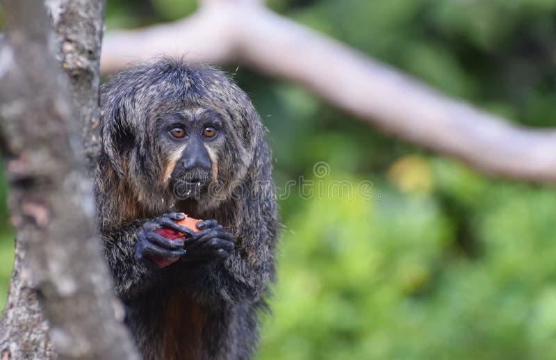 Female White Faced Saki Monkey royalty free stock images