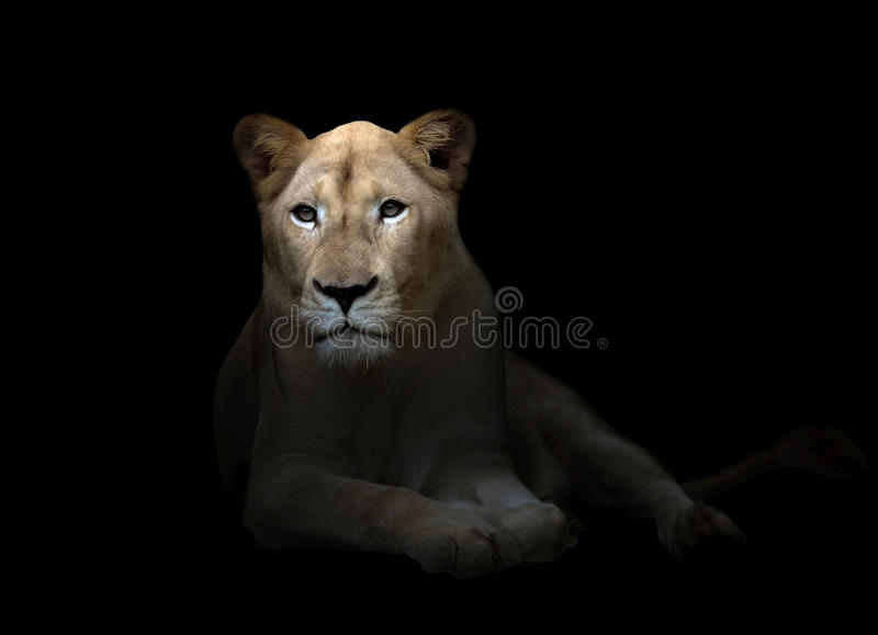Female white lion in the dark stock photo
