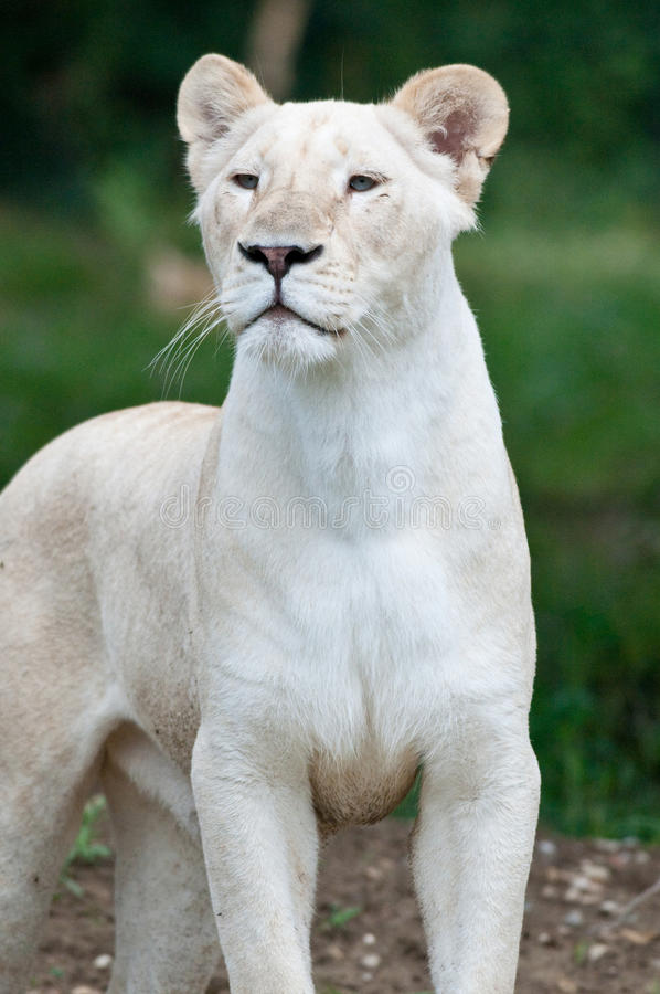 Female white lion. White lion panthera leo krugeri zoo park naturaviva verona italy stock photo
