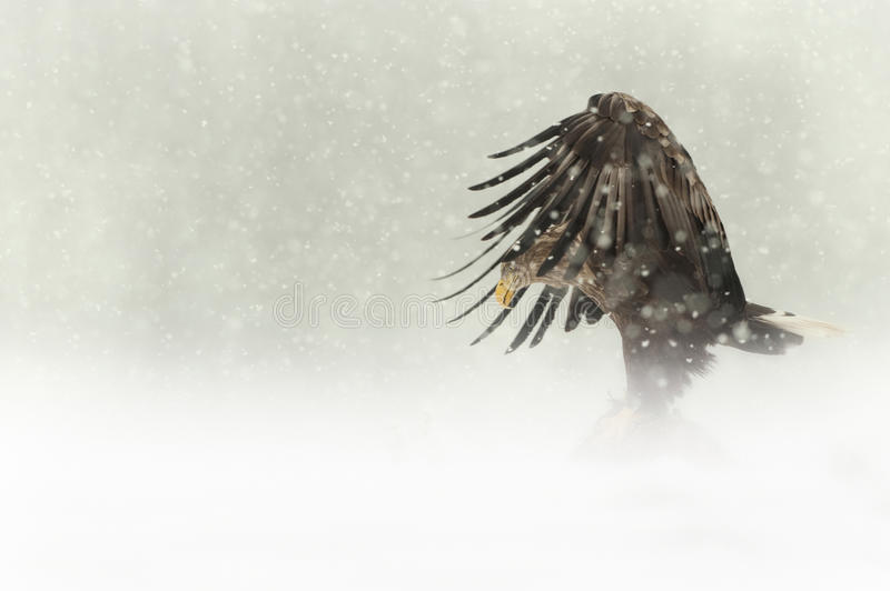Female White-tailed Eagle in heavy snow stock photo