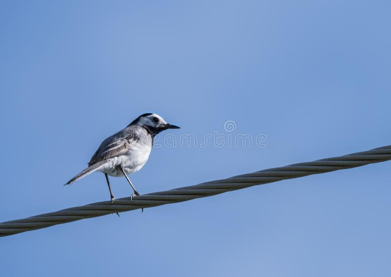 Female White Wagtail Motacilla alba sitting on eletric wire against a blue sky background. Copy space royalty free stock photography