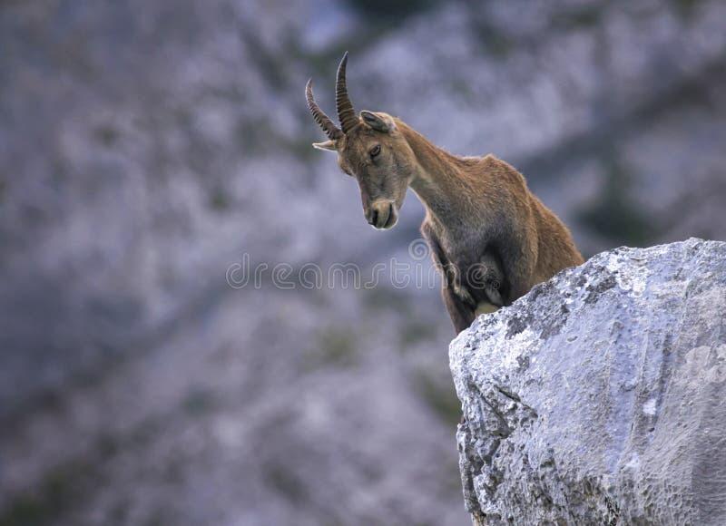 Female wild alpine, capra ibex, or steinbock. Female wild alpine ibex, capra ibex, or steinbock standing upon a rock in Alps mountain, France stock photo