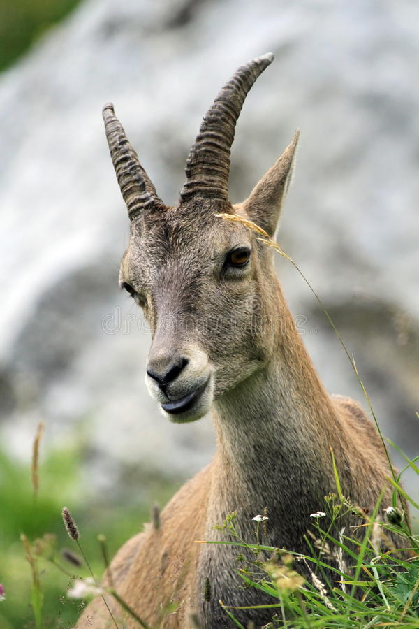 Female wild alpine ibex - steinbock portrait stock photo